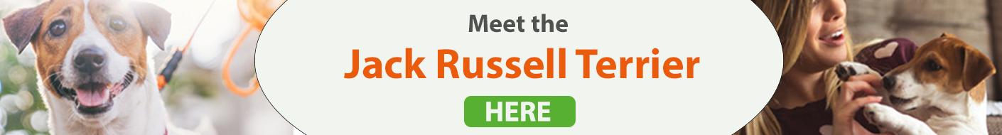 Meet the Jack Russell Terrier